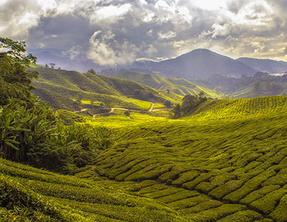 tea-fields-mountains